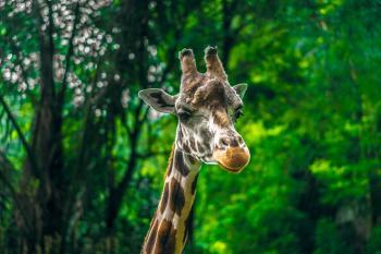 Beige and Brown Giraffe