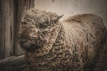 Beige Lamb Standing Beside Gray Wooden Wall