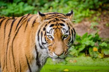 Bengal Tiger on Green Grass