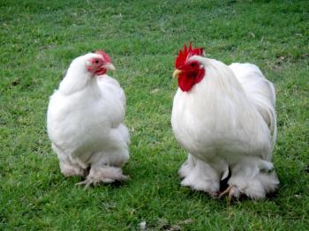Bentum Hen