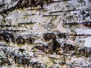 Birch texture