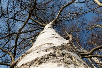 Birch trunk in Norrkila 1