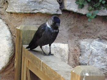 Bird family of Crows