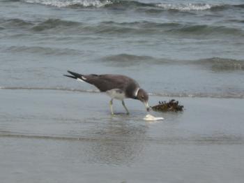 Bird gull