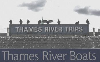 Birds in London