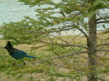 Birds of interior British columbia, Cana