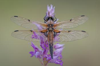 Black and Brown Dragonfly on Purple and Pink Flowers