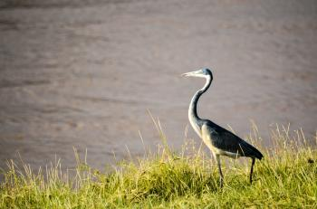Black and White Bird Standing on Green Grass Beside Body of Water at Daytime