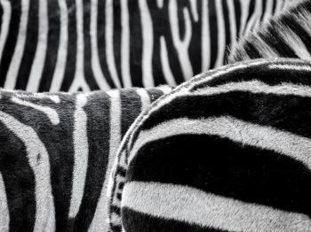 Black and White Zebra Patternt