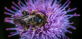 Black and Yellow Honey Bee on Purple Clustered Flower