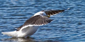 Black-back Gull