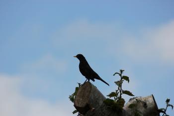 Black Bird on a Tree Top