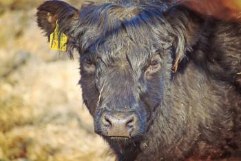 Black  Cow Staring