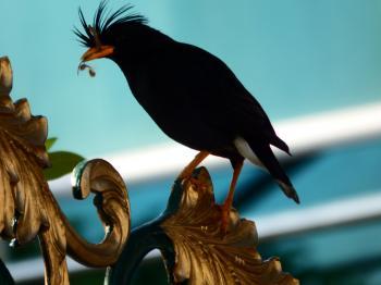 Black Crested Bird