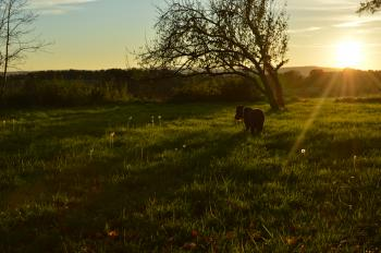 Black Dog in Green Grass at Sunset