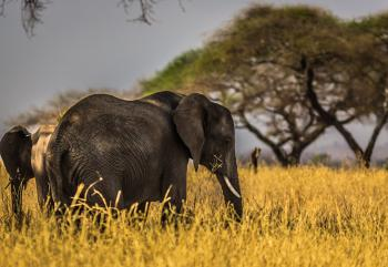 Black Elephant on Grass Field