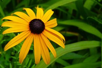 Black Eyed Susan Flower Close Up