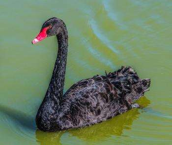 Black Featheres Red Beak Bird Swim on the Surface of Water