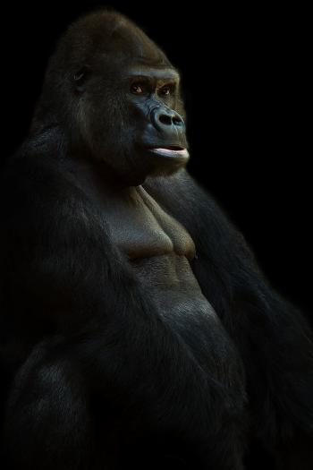 Black Gorrilla