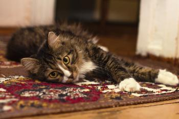 Black Gray and White Tabby Cat Resting in Brown Red Black and White Rug
