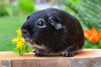 Black Guinea Pig on the Plank