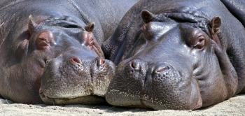 Black Hippopotamus Laying on Ground during Daytime