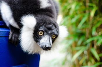 Black n White Ruffed Lemur