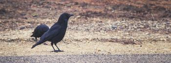 Black raven stands on the road