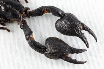 Black Scorpion Claws