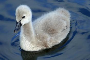 Black swan. Cygnet. (Cygnus atratus)