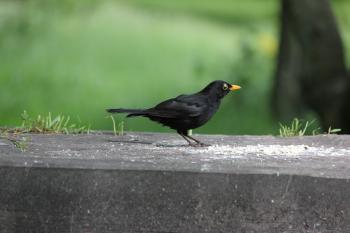 Blackbird feeding