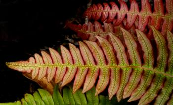 Blechnum novae-zelandiae,(palm-leaf fern )