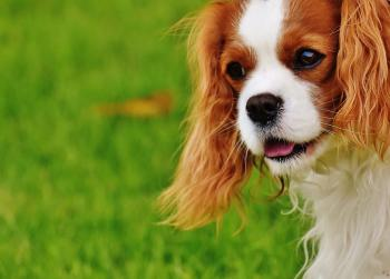 Blenheim Cavalier King Charles Spaniel Closeup Photography
