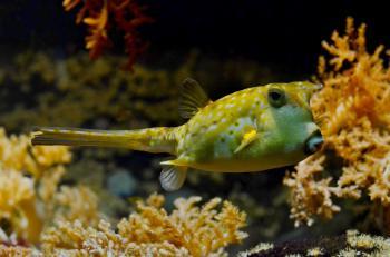 Blowfish in the Ocean