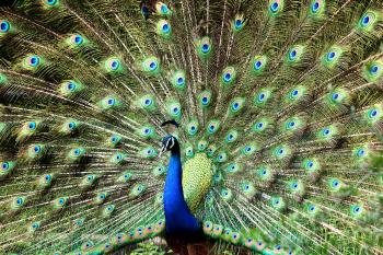 Blue and Green Peacock