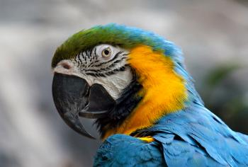 Blue and yellow Macaw. (Ara ararauna),