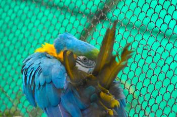 Blue Gold Macaw