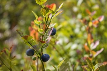Blueberries growing in the forest