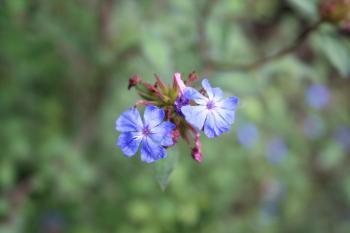 Bluish flowers