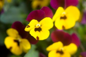 Blurry yellow and purple flowers