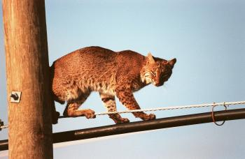 Bobcat on the Rope