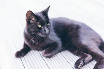 Bombay Cat on Grey Ground