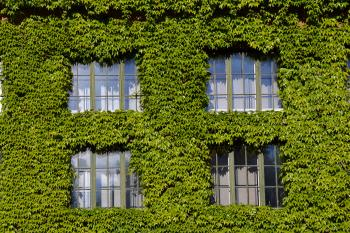 Boston ivy on the wall