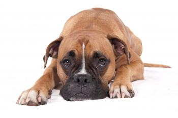 Boxer dog lying down
