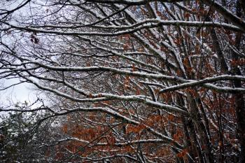 Branches weighed down by snow