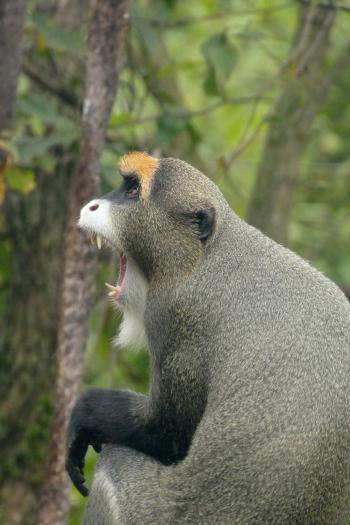 Brassa meerkat hannover