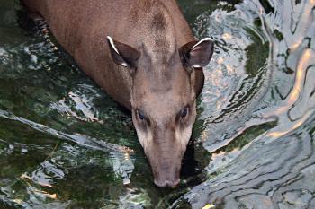 Brazilian tapir in water