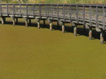 Bridge over Duckweed