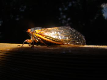 Brood V 17 year Magicicada periodical cicadas