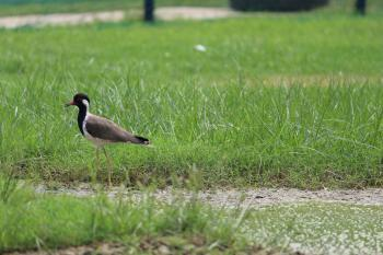 Brown and Black Bird on Grass